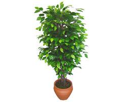 Ficus Benjamin 1,50 cm   Gaziantep hediye çiçek yolla