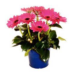 vazo içerisinde gerbera çiçekleri   Gaziantep çiçek gönderme