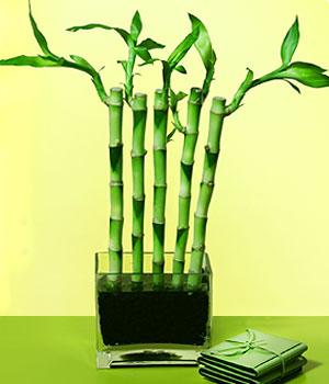 Gaziantep hediye çiçek yolla  Good Harmony Lucky Bamboo camda