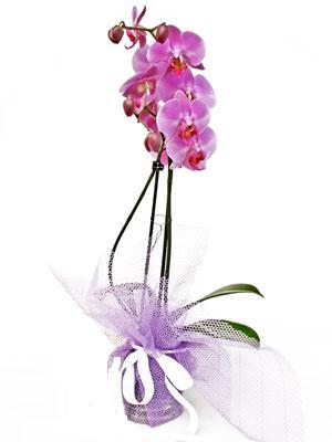 Gaziantep hediye çiçek yolla  Kaliteli ithal saksida orkide