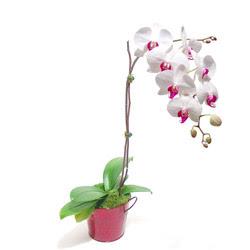 Gaziantep hediye sevgilime hediye çiçek  Saksida orkide