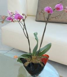 Gaziantep yurtiçi ve yurtdışı çiçek siparişi  tek dal ikili orkide saksi çiçegi