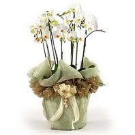 Gaziantep online çiçekçi , çiçek siparişi  3 dal orkide , saksi çiçegi , 3 kök orkide