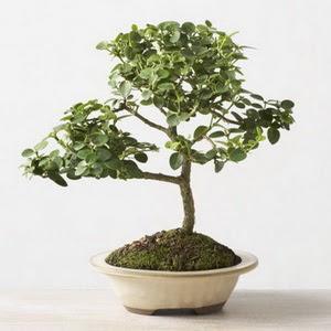 ithal bonsai saksi çiçegi  Gaziantep çiçek siparişi sitesi