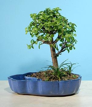 ithal bonsai saksi çiçegi  Gaziantep İnternetten çiçek siparişi