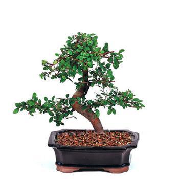 ithal bonsai saksi çiçegi  Gaziantep çiçek yolla