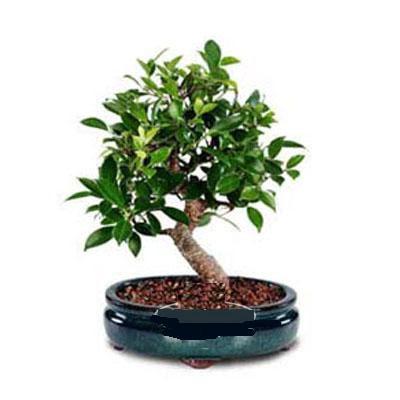 ithal bonsai saksi çiçegi  Gaziantep online çiçekçi , çiçek siparişi