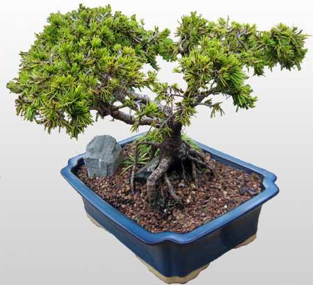 ithal bonsai saksi çiçegi  Gaziantep yurtiçi ve yurtdışı çiçek siparişi