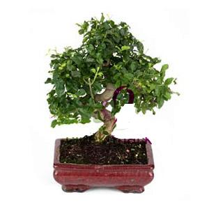 ithal bonsai saksi çiçegi  Gaziantep hediye çiçek yolla