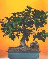 Gaziantep çiçek online çiçek siparişi  ithal bonsai saksi çiçegi  Gaziantep çiçek gönderme sitemiz güvenlidir