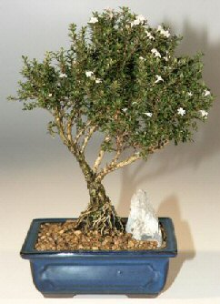 Gaziantep çiçek mağazası , çiçekçi adresleri  ithal bonsai saksi çiçegi  Gaziantep çiçek gönderme