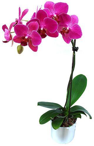 Gaziantep yurtiçi ve yurtdışı çiçek siparişi  saksi orkide çiçegi