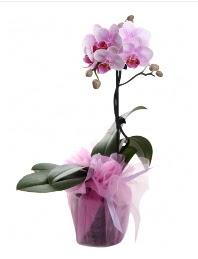 1 dal pembe orkide saksı çiçeği  Gaziantep internetten çiçek siparişi
