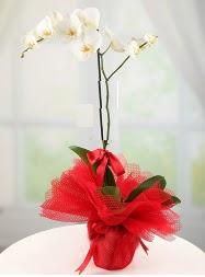 1 dal beyaz orkide saksı çiçeği  Gaziantep online çiçek gönderme sipariş