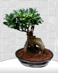 saksı çiçeği japon ağacı bonsai  Gaziantep internetten çiçek siparişi