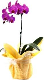 Gaziantep online çiçekçi , çiçek siparişi  Tek dal mor orkide saksı çiçeği