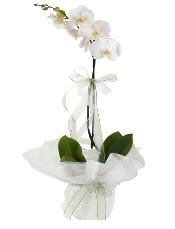 1 dal beyaz orkide çiçeği  Gaziantep çiçek yolla