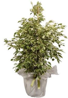 Orta boy alaca benjamin bitkisi  Gaziantep çiçek yolla , çiçek gönder , çiçekçi