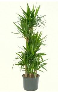 7 li yucca saksı bitkisi  Gaziantep internetten çiçek satışı