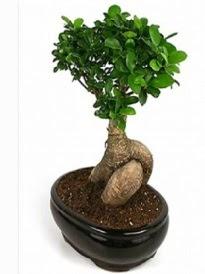 Bonsai saksı bitkisi japon ağacı  Gaziantep online çiçekçi , çiçek siparişi