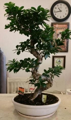 100 cm yüksekliğinde dev bonsai japon ağacı  Gaziantep uluslararası çiçek gönderme