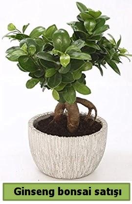 Ginseng bonsai japon ağacı satışı  Gaziantep çiçek online çiçek siparişi