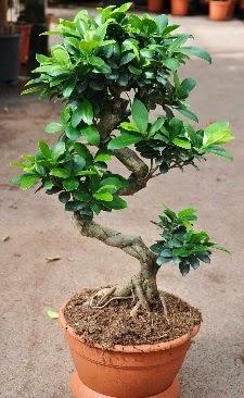 Orta boy bonsai saksı bitkisi  Gaziantep çiçek gönderme sitemiz güvenlidir