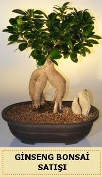 İthal Ginseng bonsai satışı japon ağacı  Gaziantep online çiçekçi , çiçek siparişi