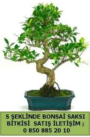 İthal S şeklinde dal eğriliği bonsai satışı  Gaziantep hediye sevgilime hediye çiçek