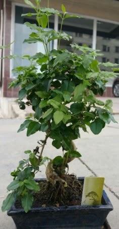 Bonsai japon ağacı saksı bitkisi  Gaziantep çiçek yolla
