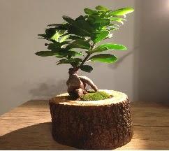 Doğal kütükte Bonsai japon ağacı satışı  Gaziantep çiçek yolla , çiçek gönder , çiçekçi