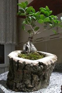 Ahşap kütük içerisinde ginseng bonsai  Gaziantep çiçek gönderme sitemiz güvenlidir