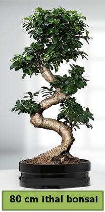 80 cm özel saksıda bonsai bitkisi  Gaziantep çiçek online çiçek siparişi