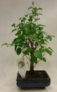 Minyatür bonsai japon ağacı satışı  Gaziantep çiçek online çiçek siparişi