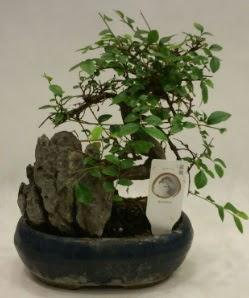 İthal 1.ci kalite bonsai japon ağacı  Gaziantep çiçek servisi , çiçekçi adresleri