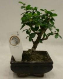 Küçük minyatür bonsai japon ağacı  Gaziantep hediye sevgilime hediye çiçek
