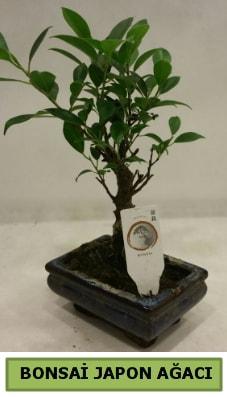 Bonsai japon ağacı saksı bitkisi  Gaziantep internetten çiçek satışı