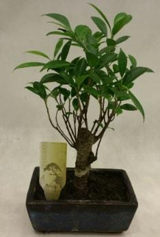 Japon ağacı bonsai bitkisi satışı  Gaziantep çiçek online çiçek siparişi