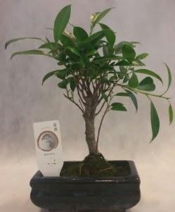Bonsai japon ağacı bitkisi satışı  Gaziantep 14 şubat sevgililer günü çiçek