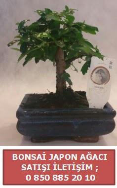 Japon ağacı minyaür bonsai satışı  Gaziantep çiçek servisi , çiçekçi adresleri