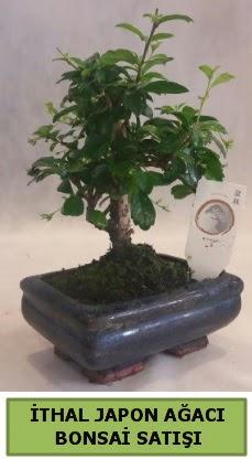 İthal japon ağacı bonsai bitkisi satışı  Gaziantep çiçek online çiçek siparişi