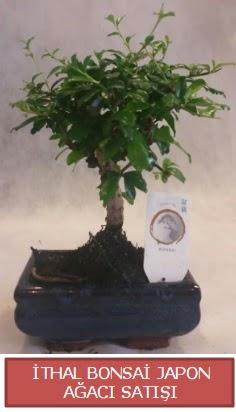 İthal küçük boy minyatür bonsai ağaç bitkisi  Gaziantep çiçek online çiçek siparişi
