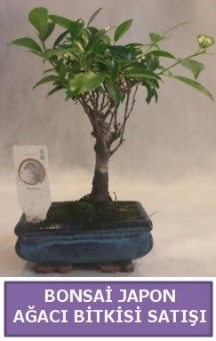 İthal Bonsai japon ağacı bitkisi satışı  Gaziantep uluslararası çiçek gönderme