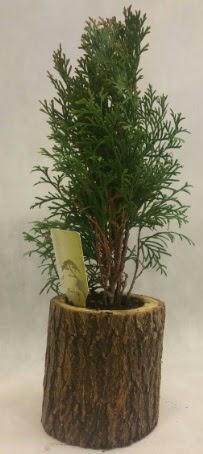 SINIRLI STOK Selvi Bonsai Doğal kütükte  Gaziantep uluslararası çiçek gönderme