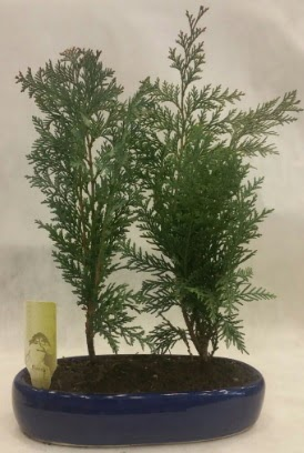 SINIRLI SAYIDA Selvi Ağacı bonsai ikili  Gaziantep çiçek online çiçek siparişi