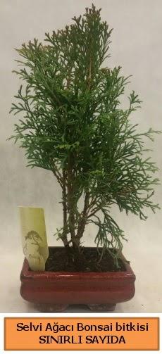 Selvi ağacı bonsai japon ağacı bitkisi  Gaziantep çiçek servisi , çiçekçi adresleri