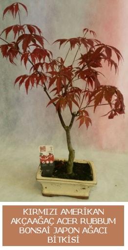 Amerikan akçaağaç Acer Rubrum bonsai  Gaziantep çiçek , çiçekçi , çiçekçilik