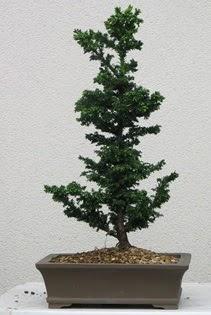 Çam ağacı bonsai bitkisi satışı  Gaziantep çiçek online çiçek siparişi