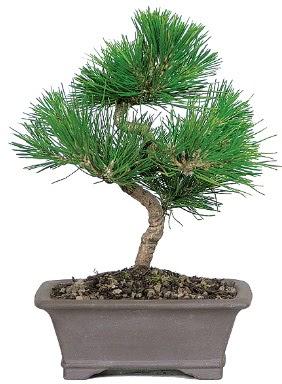 Çam ağacı bonsai japon ağacı bitkisi  Gaziantep hediye sevgilime hediye çiçek