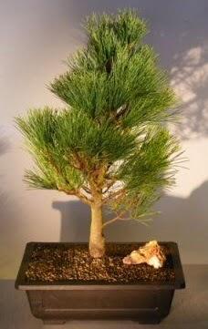Çam ağacı japon ağacı bitkisi bonsai  Gaziantep çiçek online çiçek siparişi